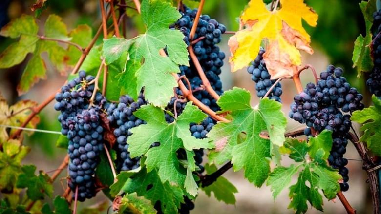 Sonnino's grapes
