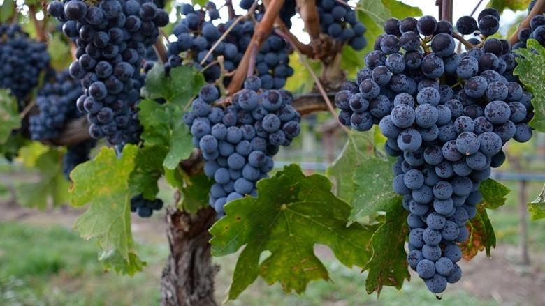 Sonnino grapes